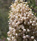 pic of anza  - Close up of many blossoms of Mojave Yucca or Spanish Dagger tree in Anzo - JPG