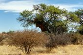 pic of african animals  - African masked weaver big nest on tree african landscape Kgalagadi Transfrontier Park Botswana true wildlife - JPG