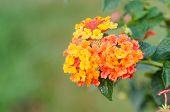 picture of lantana  - Yellow lantana camara flowers blooming in garden - JPG