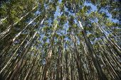 stock photo of eucalyptus trees  - Towering and converging trees on the Hamakua Coast - JPG