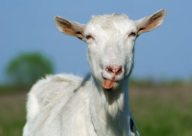 pic of goat horns  - Portrait of a horned and bearded goat showing tongue - JPG