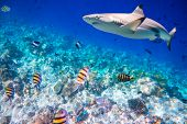 stock photo of clown fish  - Reef with a variety of hard and soft corals and shark in the background - JPG