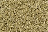 picture of cumin  - Clos - JPG