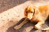 pic of mongrel dog  - mongrel brown dog is laying on the ground - JPG