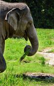 picture of southeast asian  - The Asian or Asiatic elephant  - JPG