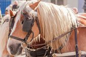 image of girdles  - two brown horse head portrait profile with brown leather saddle and girdle on sunny day - JPG