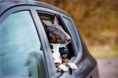 stock photo of bull-riding  - english bull terrier dog in a car - JPG