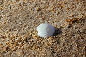 foto of transverse  - Closeup transverse ark seashell on the beach - JPG