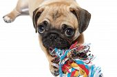 picture of pug  - A young light colored pug chewing a toy on white background - JPG