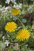 pic of vegetation  - Close up of bright yellow dandilion flowers growing beside green grass white flowers and other vegetation in Spring time - JPG