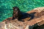 picture of sea lion  - Sea lion bask in the sun next to the water - JPG
