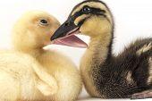 image of comrades  - American pekin duckling and in studio shot photo - JPG