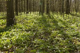 foto of windflowers  - spring forest landscape with carpet of windflower - JPG