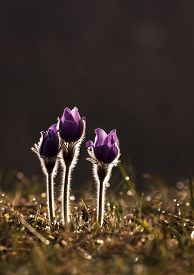picture of windflowers  - Beautiful windflowers in a Spring sunset with water drops  - JPG