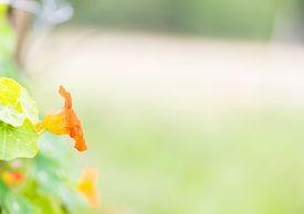 stock photo of nasturtium  - Beautiful nasturtium flowers blooming in garden - JPG