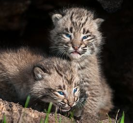 picture of hollow log  - Two Baby Bobcat Kits  - JPG