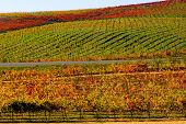 Vineyard in Napa Valley in Autumn