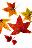 pic of fall leaves  - liquid amber fall leafs  - JPG