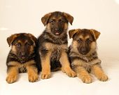 picture of german shepherd dogs  - Pure breed german shepherd puppy laying down - JPG