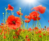 Close Up Photo Of Red Poppies Under Sunrays poster