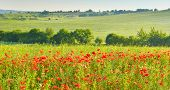 Poppies In Summer Countryside. Countryside With Wild Poppies poster