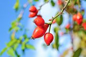 Branch Of Rose-hips Or Wild Rose Berries On The Background Of Bright Blue Sky In Close-up. Dog Rose  poster