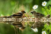Two Hawfinch Sitting On Lichen Shore Of Water Pond In Forest With Beautiful Bokeh And Flowers In Bac poster