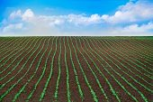 A Field Of Young Soybean Sprouts. Rows Of Soybean Plants Growing In A Field Against The Background O poster