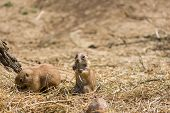 The Prairie Dog (latin Name Cynomys Ludovicianus) On The Ground. Rodent Animal Coming From Africa poster