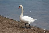 Swan Standing Proudly On River Bank Surrounded With Gravel And Fallen Feathers Next To Clear Water O poster