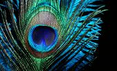 Blue feathers on black background. Carnival. Peacock feather   poster