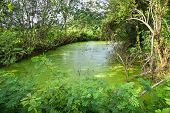 Duck Weed Floating On The Water Surface Pond With Plant And Tree Growing On Swamp / Green Water Aqua poster
