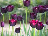 Black Tulips Like Oil Painting