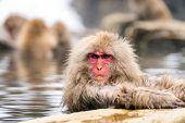 Japanese Snow monkey Macaque in hot spring Onsen Jigokudan monkey Park, Nakano, Japan poster