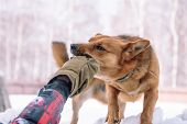 The Dog Is Playing In The Snow. Red Dog Running In The Snow. Playful Dog. A Pet Plays Outside In The poster