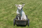 Young Mixed Breed White Dog Waiting Till Master Would Drive This Cool Canine Car - Wheel Barrow poster