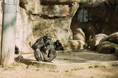 Chimpanzees Sitting On Sun In Zoological Park, Barcelona, Spain poster