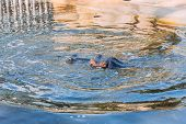 Hippo Swimming In Pond In Zoological Park, Barcelona, Spain poster
