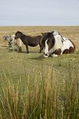 Semi-feral Dartmoor Ponies Grazing In The Highland Moorland Of Southern Devon, England poster