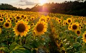 Field Of Sunflowers. Sunflowers Flowers. Landscape From A Sunflower Farm. A Field Of Sunflowers High poster