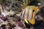 stock photo of coral reefs  - Yellow and white striped tropical butterfly fish in a coral reef.