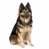 image of german shepherd dogs  - German shepherd  - JPG