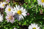 White Daisy Flower. Flower In Garden At Sunny Summer Or Spring Day. Flower For Postcard Beauty Decor poster