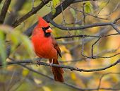 picture of cardinal-bird  - A male northern cardinal perching on a branch with fall coulour background - JPG