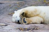 picture of polar bears  - The polar bear living in territory of a zoo - JPG