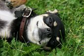 picture of spayed  - a cute puppy in the grass - JPG
