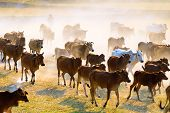 Cows Going Home In The Dust At The End Of Day, Vietnam And Cambodia Border
