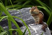 image of full cheeks  - Closeup of a funny Chipmunk with very full cheeks. ** Note: Slight blurriness, best at smaller sizes - JPG