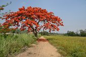 Royal Poinciana Tree.