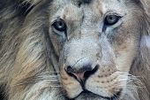 foto of african lion  - Close up portrait of beautiful african male lion